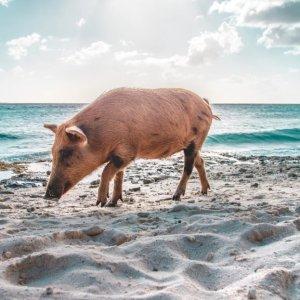 直飞$299起 猪岛约起来纽约至巴哈马拿骚往返机票超好价