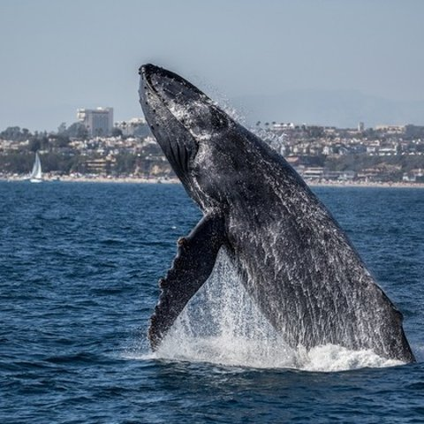 Whale Watching Tickets from Ocean Explorer Cruises (Up to 66% Off). Eight Options Available.