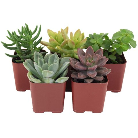Shop Succulents Variety Set of Hand Selected, Fully Rooted Live Indoor Succulent Plants, 5-Pack