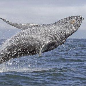 $39(原价$94) 游轮出行+烧烤午餐Oz Whale Watching 悉尼观鲸之旅团购