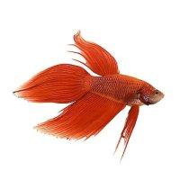 红色男性鱼