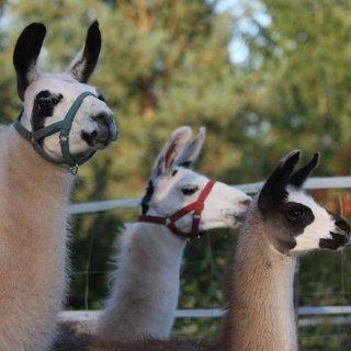4人团购价仅44.9€Pfalz Lamas 羊驼之旅 ,和羊驼一起共度2小时吧