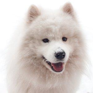 萨摩耶家长必备清单宠物知多少 萨摩耶犬饲养大全