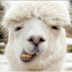 5折 投喂+散步 GET俊凯哥哥同款羊驼羊驼农场第二波 近伦敦英式农场双人与驼同行体验£25起