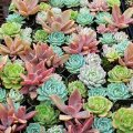 Echeveria Collection - Mountain Crest Gardens