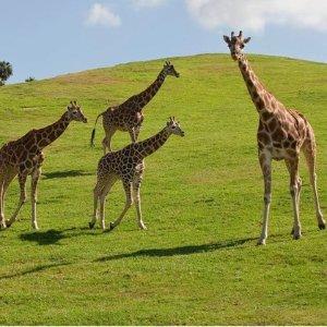 $44.99起圣地亚哥野生动物园 Safari Park 单日门票