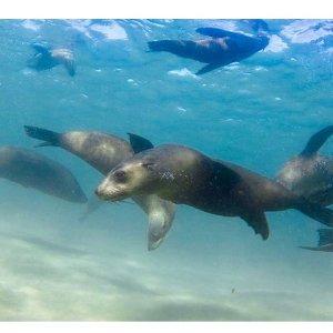 $49 (原价$80) 和海豹的亲密接触墨尔本 Moonraker Charters 与海豹共同游泳历险记团购