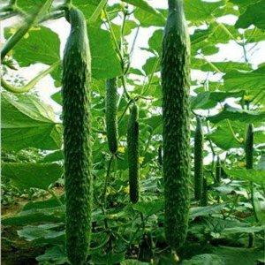 中国刺黄瓜种子