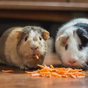 低至3折+额外8.5折Petco 小动物饲料热卖 超低价入兔子、仓鼠、鼬等饲料