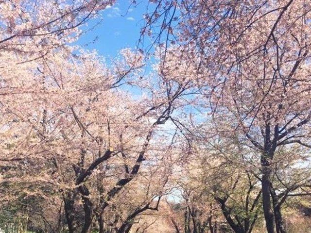 在华盛顿邂逅最美的樱花