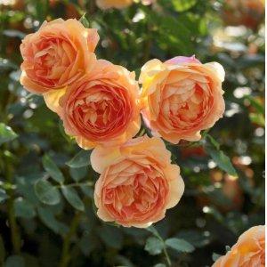 无门槛9折David Austin 奥斯汀玫瑰 超火网红鲜花直送 全场热促