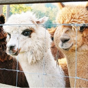 $38 (原价$66)亲近大自然Mountview Alpaca Farm 羊驼农场喂食玩乐体验