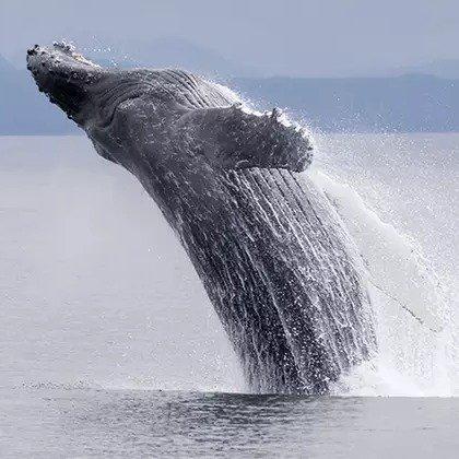 麻州格洛斯特 观鲸之旅