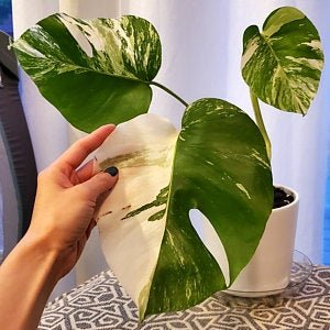 Monstera Borsigiana Albo variegated Medium size | Etsy