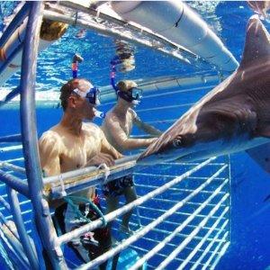 $95.50起  与鲨鱼近距离同游夏威夷欧胡岛 2小时鲨鱼笼观鲨体验