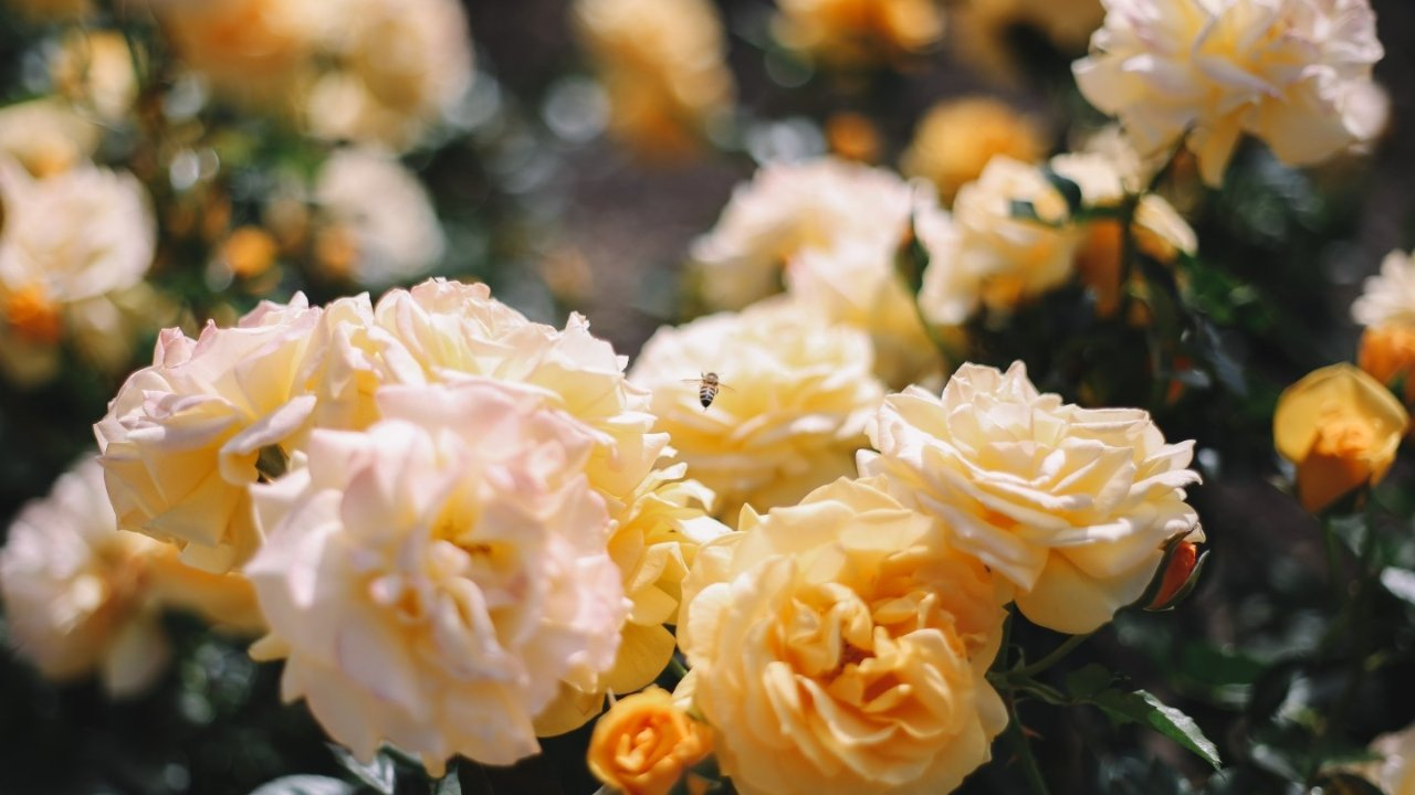 除了薰衣草花田,还有这些花海值得打卡!玫瑰园、紫罗兰、绣球花等