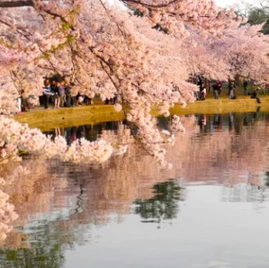 Petal Pass+Special blossom TreatmentExclusive Cherry Blossom Packages on Washington.D.C @Hilton