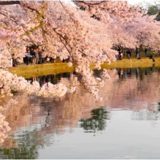 送樱花节通行证及专享樱花礼物赏樱正当时 希尔顿华盛顿特区酒店观花礼包入住即送