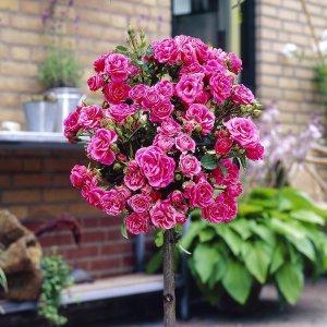 £19.99玫瑰盆栽 四盆四色 60厘米高