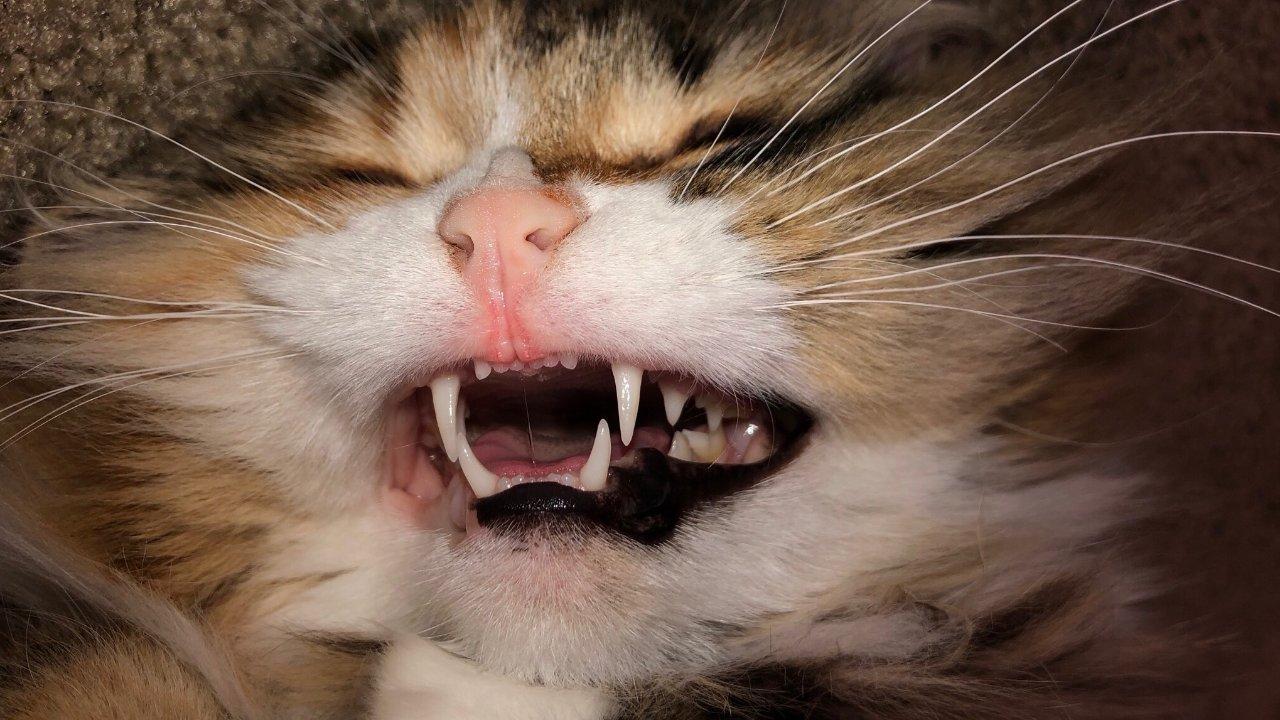 猫咪麻醉洗牙