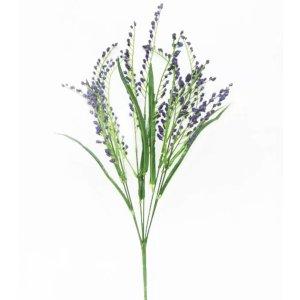 紫色帚石楠