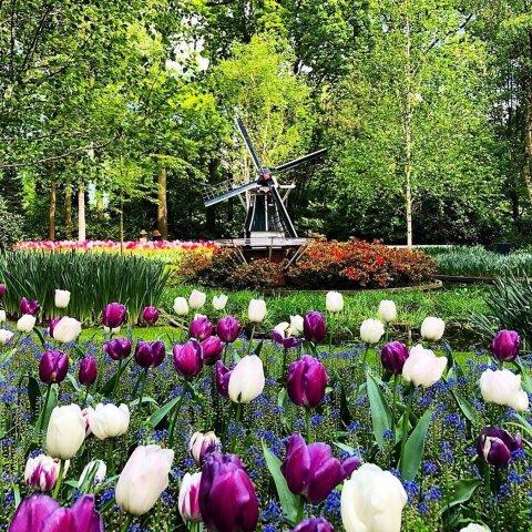 7百万株 欧洲最大郁金香公园【宅在家看世界】荷兰郁金香云展览 快来一起赏人间四月天