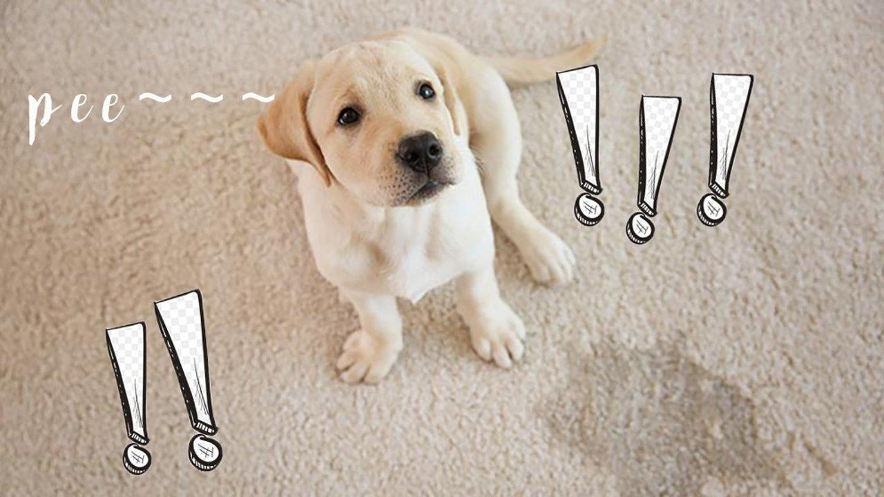 狗狗尿尿老大难?天使狗狗从potty training开始训练!