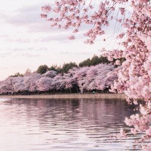 在家也能赏樱花华盛顿特区 潮汐湖畔樱花 线上直播