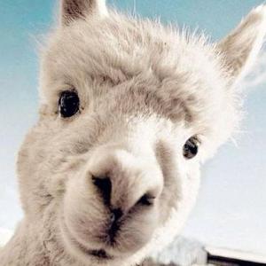 北美羊驼农场大全今年全美羊驼节来啦,来跟这个蠢萌蠢萌的羊驼玩耍吧!
