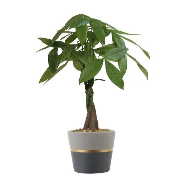发财树 14.2英寸