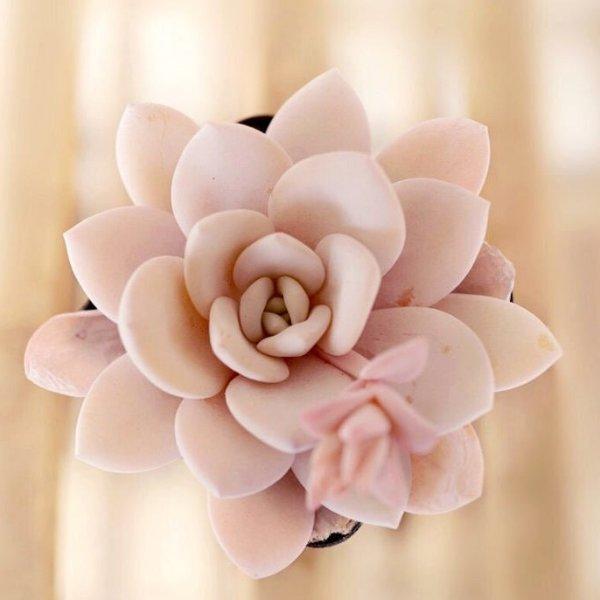 石莲花种子 10颗