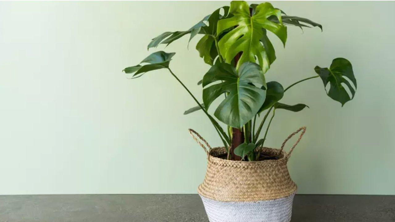 德国物美价廉的绿植哪里买?网站推荐| 实体店推荐| 中德对照植物名|适合室内养的植物