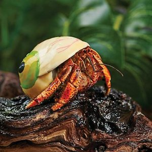 Fancy Hermit Crab