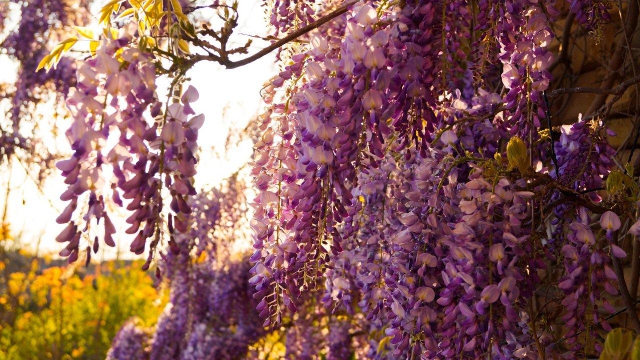 超仙!巴黎紫藤花打卡地都在这里了,春日旅游一起来拍照吧!