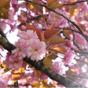 华盛顿樱花季 洲际酒店入住好价