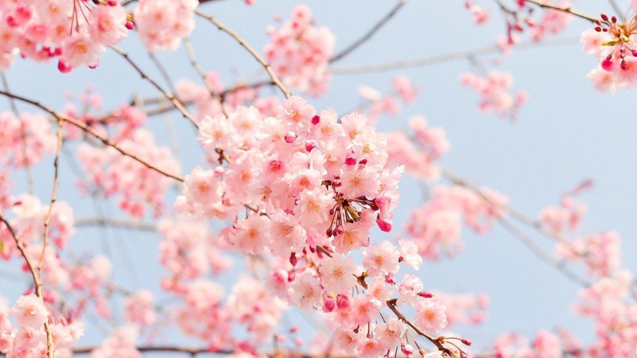 纽约2021樱花赏花攻略|樱花、郁金香、天竺葵...纽约赏花地址大总结!大家一起出发吧~