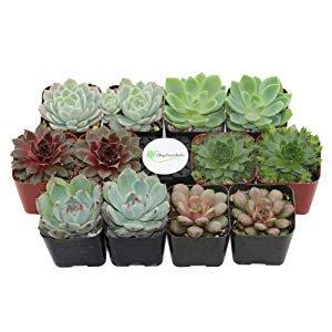 Amazon.com: Shop Succulents | Radiant Rosette Collection of Live Succulent Plants, Hand Selected Variety Pack of Mini Succulents | Collection of 12: Gateway