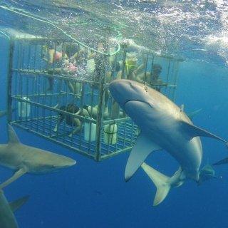 $105起 与海中霸主面对面夏威夷欧胡岛 鲨鱼笼观鲨 安全又刺激惊险的体验