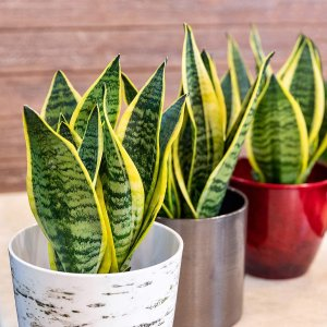 Plants for Pets 金边虎尾兰绿植