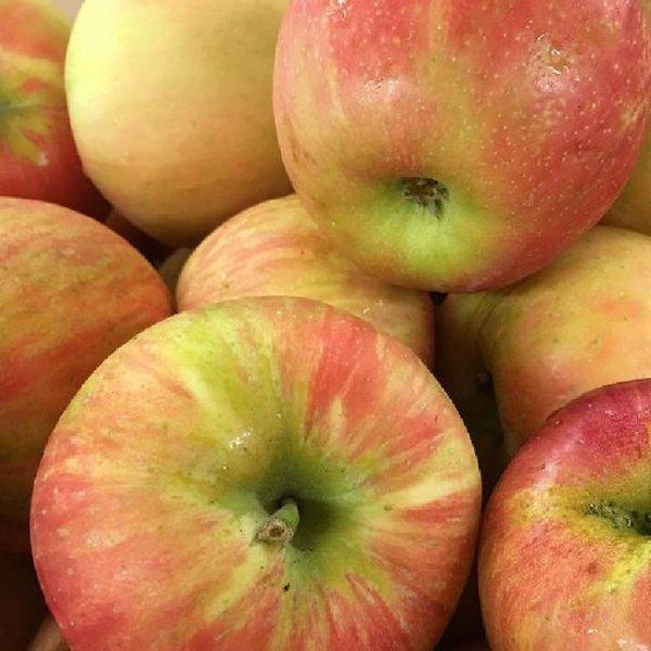 蜂蜜脆苹果树苗