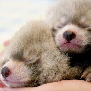 24年首次!小熊猫生娃啦!生啦!生啦!多伦多动物园迎来2只健康的小宝宝!