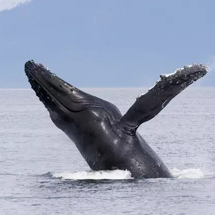 Marina del Rey 3.5小时观鲸游轮 玛丽安德尔湾出发