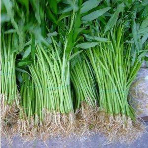 中国空心菜种子