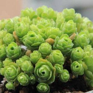 空气凤梨种子$17Etsy 新年开运绿植热卖,石莲花种子10颗$10,薄荷盆栽$13