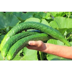 中国黄瓜种子