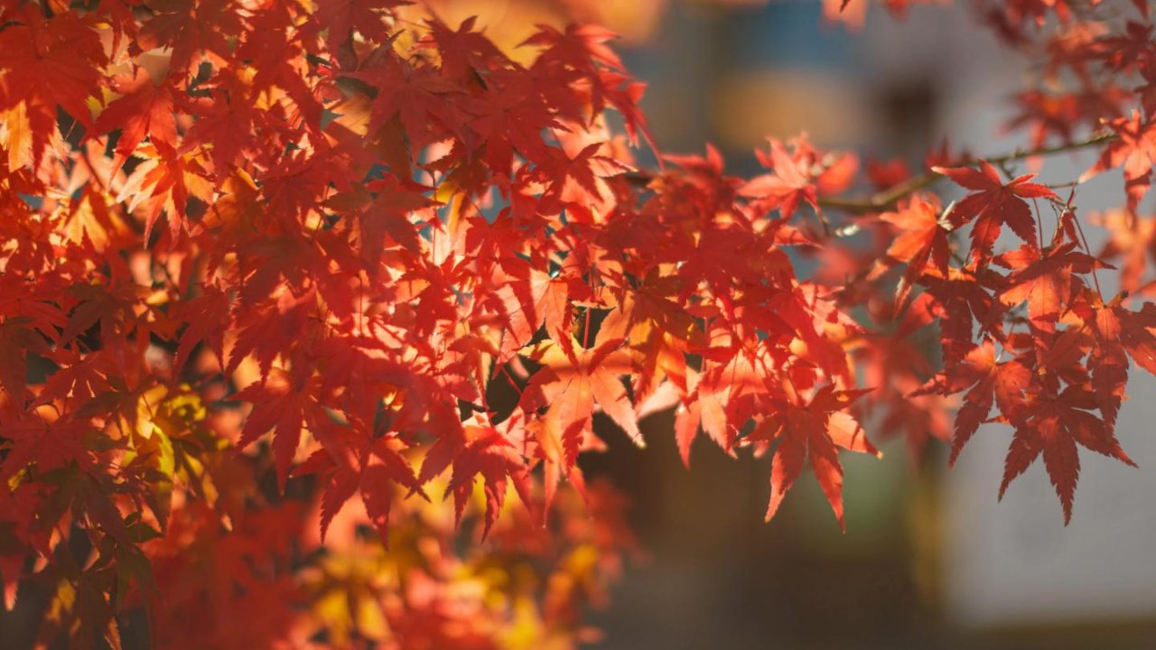 秋日好去处 温哥华赏枫指南,一帖get赏枫景区、路线规划、门票花费…