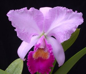 Cattleya trianaei 'Jungle Feather' - OrchidWeb