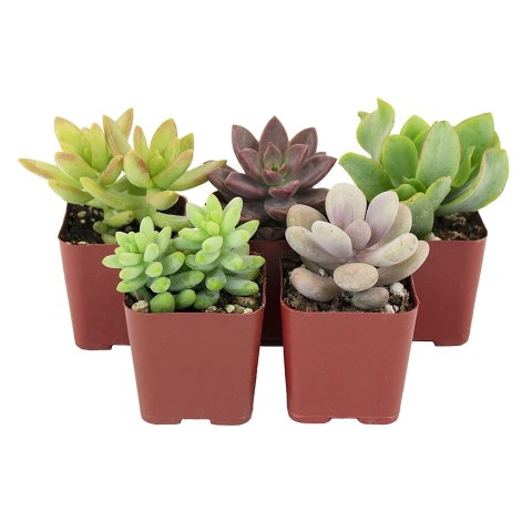 Shop Succulents | Soft Hue Collection | Assortment of Hand Selected, Fully Rooted Live Indoor Pastel Tone Succulent Plants, 5-Pack