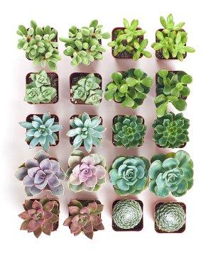 $26.39史低价:Shop Succulents 多肉植物组合超值20盆装