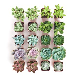 Live Succulent Plants Mini Succulents Collection of 20
